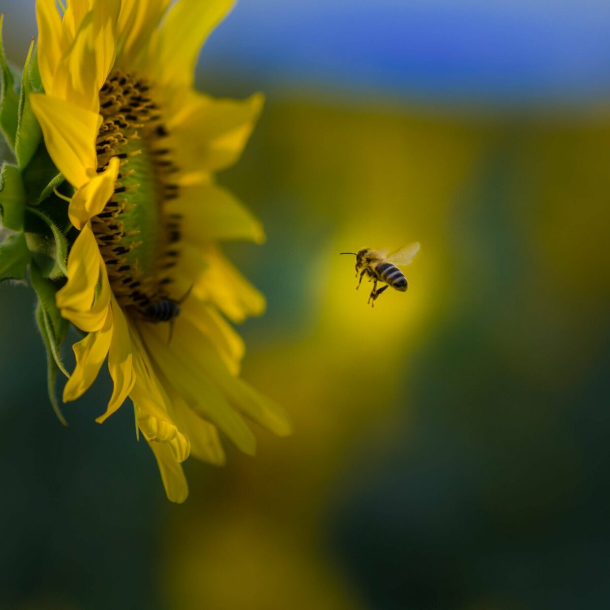 Eine Biene im Landeanflug.