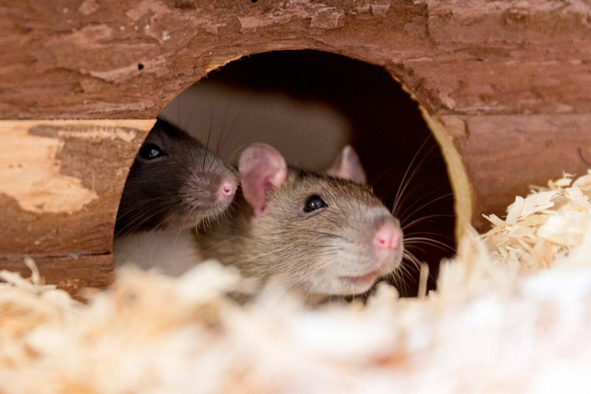 Ratte in einem Häuschen