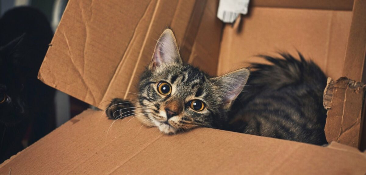 Katze in Karton