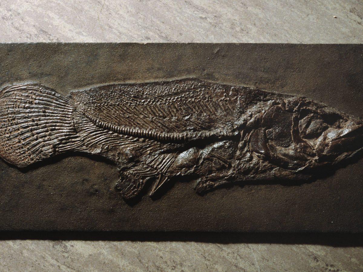 Ausgestelltes Fossil